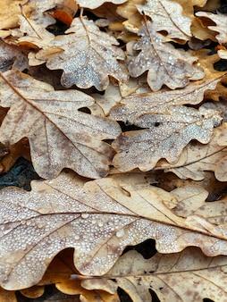 Tekstura liści dębu pokryte krople rosy, sezon jesień