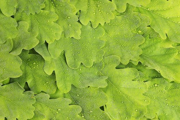 Tekstura liści dębu w kroplach rosy