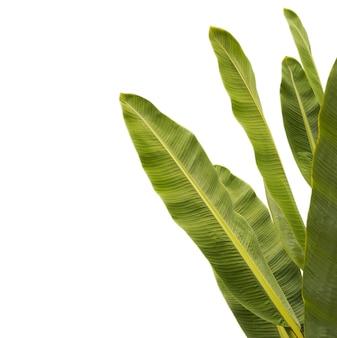Tekstura liści tropikalnych bananów. na białym tle