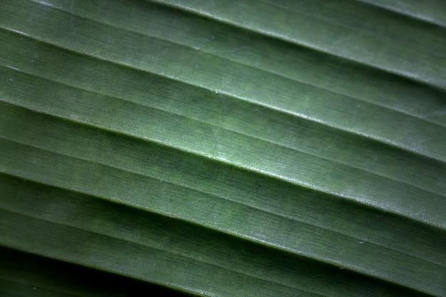 Tekstura liścia bananowego
