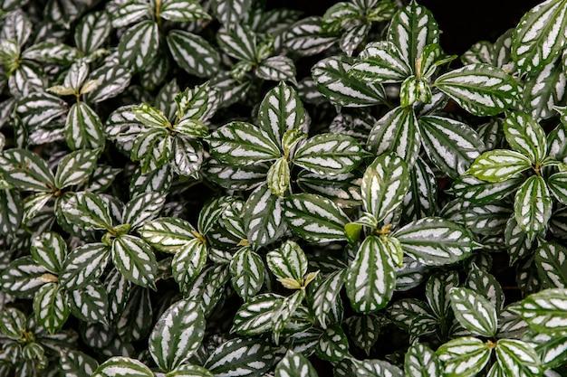 Tekstura liścia begonii. tło natura.