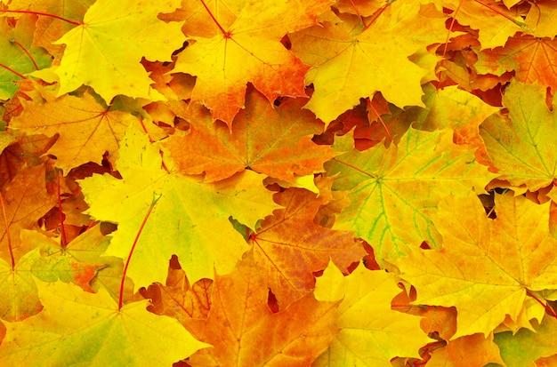 Tekstura liścia klonu jako tło