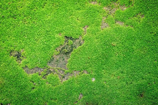Tekstura mchu. mech. zielony mech na grunge tekstur