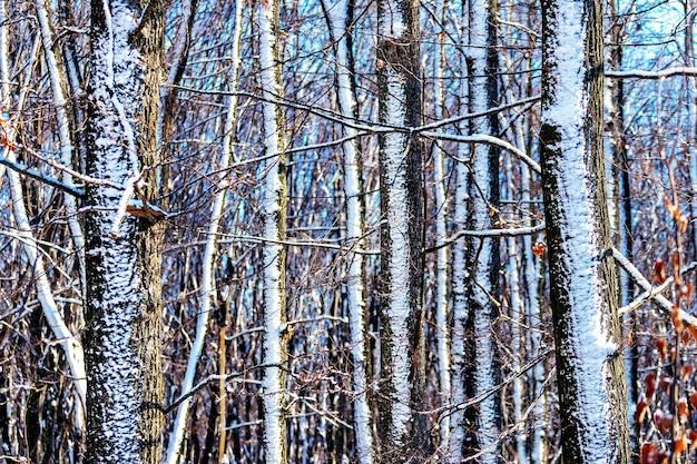 Tekstura ośnieżonych drzew w lesie przy słonecznej pogodzie
