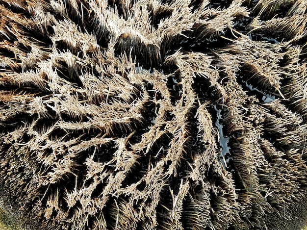 Tekstura rocznego pierścienia palmy cukrowej