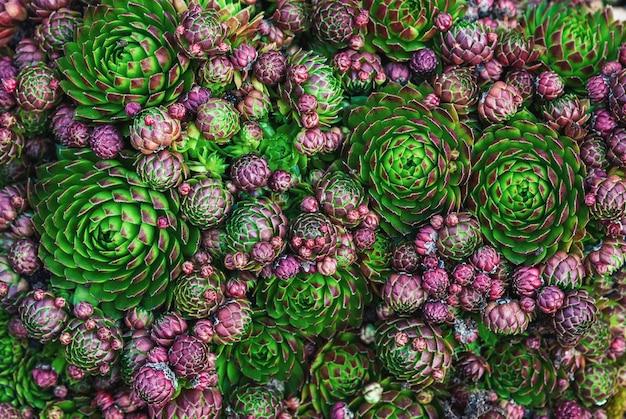 Tekstura roślin okrywowych - houseleek o różnym kolorze i kształcie, widok z góry