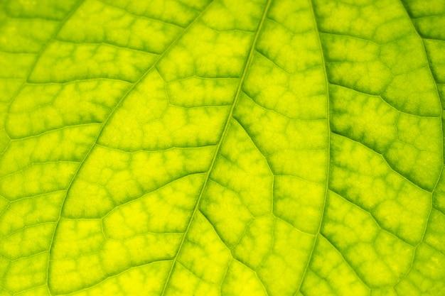 Tekstura struktury liścia wild betel leafbush zielony.