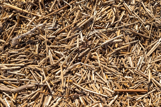 Tekstura suchych trzcin. tapeta z organicznej natury żółtej trzciny