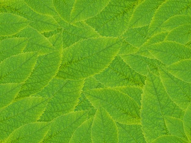 Tekstura tło natura ze świeżych zielonych liści.