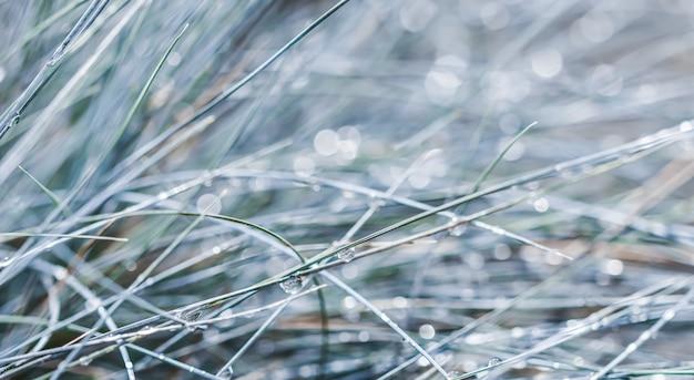 Tekstura wzór tła dekoracyjnej trawy niebieska kostrzewa z kroplami deszczu bokeh ze światłem