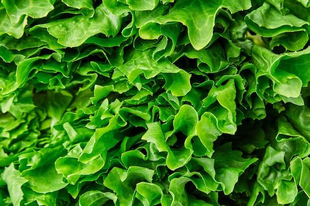 Tekstura zielona sałatka, makro- strzał.
