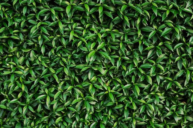 Tekstura zielone liście krzewu