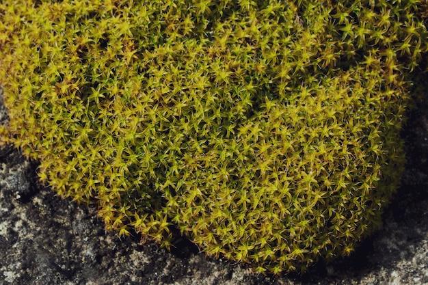 Tekstura zielonej rośliny. mech na kamieniu. torfowiec