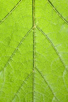 Tekstura zielony tło. tekstura liść dębu