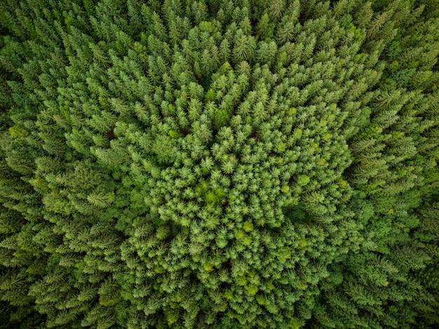 Tekstura zielonych drzew jodłowych z lotu ptaka