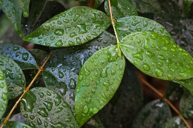 Tekstura zielonych liści mokrych deszczem