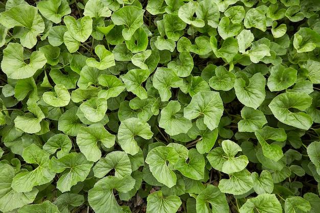 Tekstura zielonych liści w lesie latem lub wiosną, widok z góry na jasnozielonych liściach w parku lub ogrodzie.