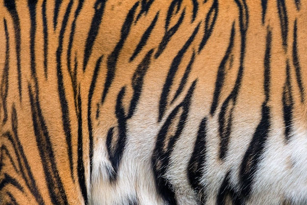 Tekstury i skórki tygrysa.