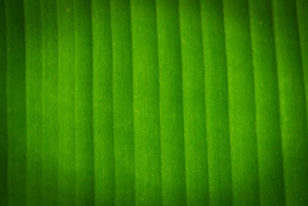 Tekstury tło backlight świeży zielony liść. liście bananowca
