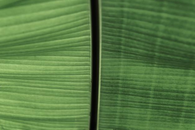 Tekstury tło świeży zielony liść. liści bananowych, streszczenie paski naturalne tło
