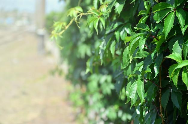 Tekstury wielu kwitnących zielonych winorośli z dzikiego bluszczu, które obejmują betonową ścianę