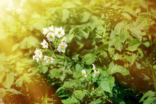 Temat ogrodniczy: grządka z krzewem ziemniaczanym, liście ziemniaka