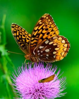 Ten wielki spangled fritillary motyl jest widziany na rozkwicie thistle.
