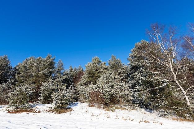 Teren leśny obsadzony sosnami. na gałęziach jodły jest biały śnieg po opadach śniegu. zbliżenie w zimie. teren pokryty jest zaspami śnieżnymi