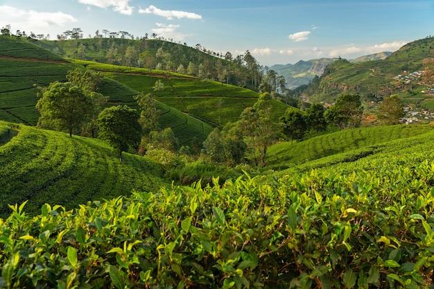 Tereny plantacji zielonej herbaty nuwara eliya.