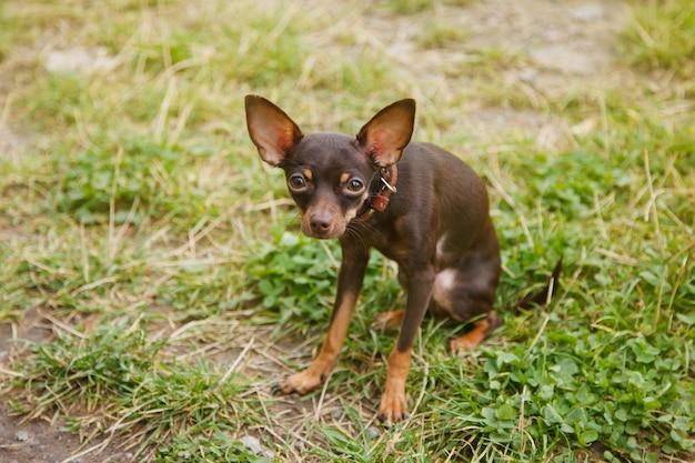 Terier rosyjski toy pies siedzi na trawniku. zamknij się oswojony pies rasy terrier zabawka działa na trawie w przyrodzie. rasowe małe zwierzęta kieszonkowe. spacery ze zwierzętami w parku