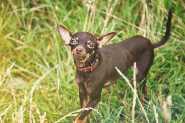 Terier rosyjski toy stoi na trawniku. zamknij się oswojony pies rasy terier zabawka działa na trawie w przyrodzie. rasowe małe zwierzęta kieszonkowe. spacery ze zwierzętami w parku