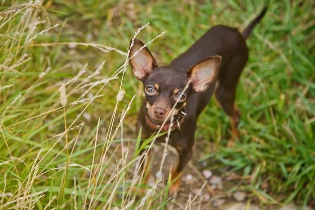 Terier rosyjski toy stoi na trawniku. zamknij się oswojony pies rasy terrier zabawka działa na trawie w przyrodzie. rasowe małe zwierzęta kieszonkowe. spacery ze zwierzętami w parku