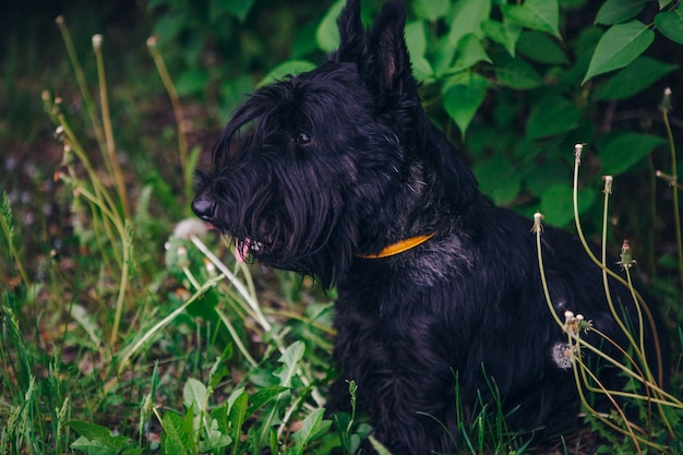 Terier szkocki pozuje w zielonej trawie