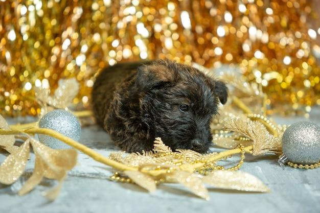 Terier szkocki szczeniak pozowanie. śliczny czarny piesek lub zwierzak bawiący się dekoracją świąteczną i noworoczną. wyglądać słodko. koncepcja święta, świąteczny czas, zimowy nastrój. negatywna przestrzeń.