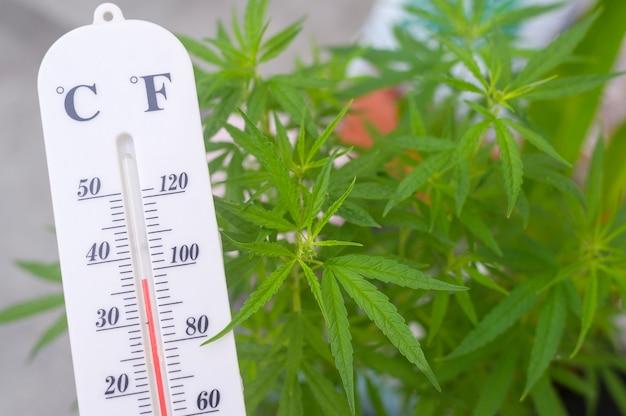 Termometr pokazuje temperaturę na roślinach konopi