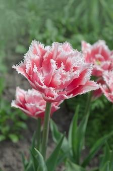 Terry frędzlami tulipan w ogrodzie.