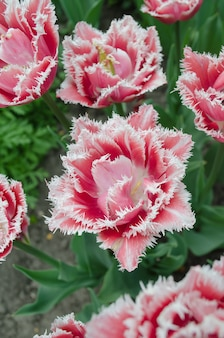 Terry frędzlowy tulipan queensland w ogrodzie