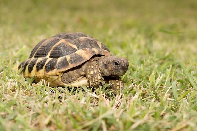 Testudo hermanni żółw śródziemnomorski chodził po ziemi