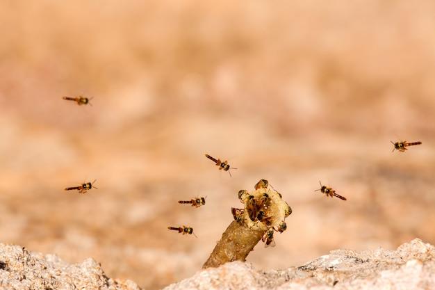 Tetragonisca angustula colony - honeybees jatai - w locie