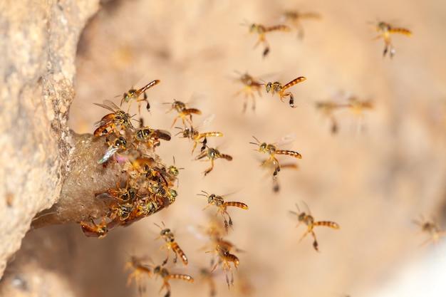 Tetragonisca angustula jatai bess w locie blisko - pszczoła bez żądła