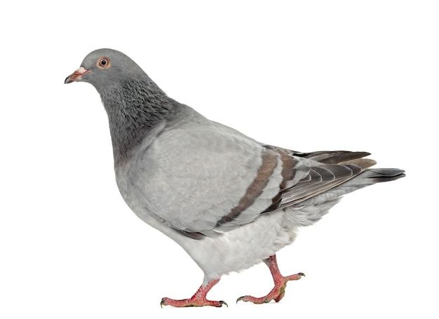 Texan pioneer pigeon walking, na białym tle