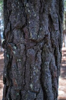 Textura de corteza de pino viejo