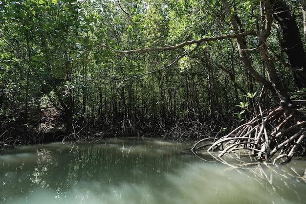Tham lod (mała jaskinia grota) bagno dżungli drzew namorzynowych w zatoce phang nga, tajlandia.