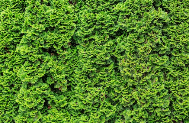 Thuja occidentalis zielone tło, naturalna tekstura