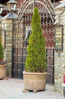 Thuya na drzwiach wejściowych