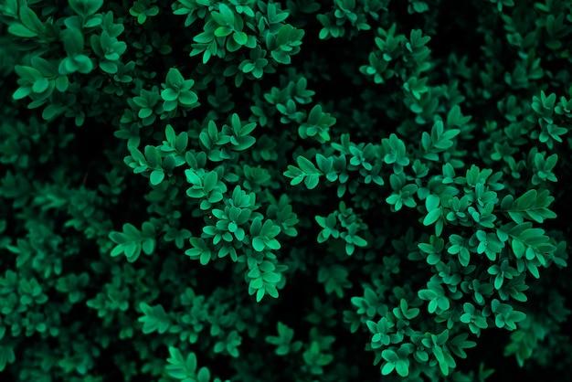 Tidewater zielony kolor liści ze świeżej rosy na tle liści