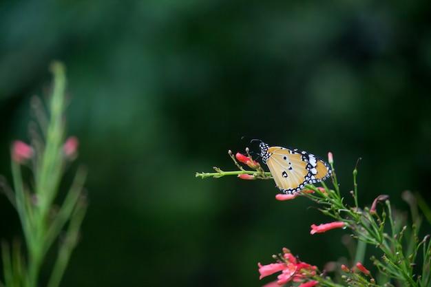 Tiger butterfly na kwiat roślin