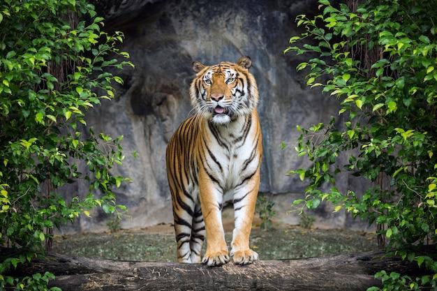 Tiger stoi w leśnej atmosferze.