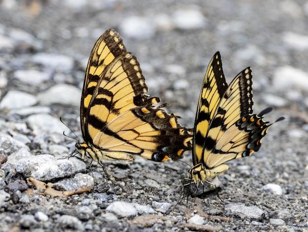 Tiger swallowtail motyle ucztują na martwych robakach na jezdni.