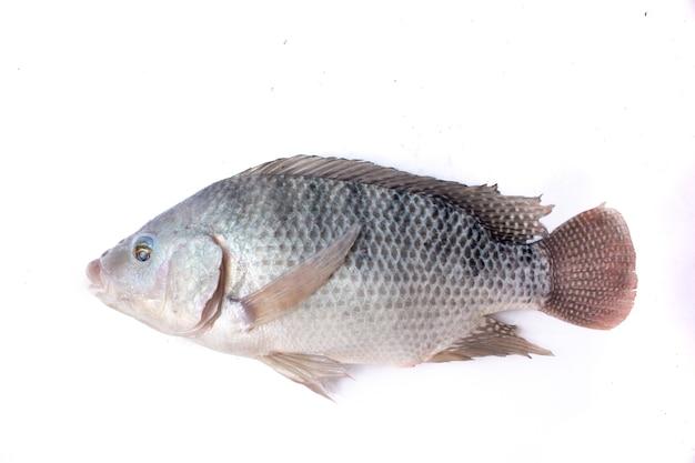 Tilapia ryba na białym tle